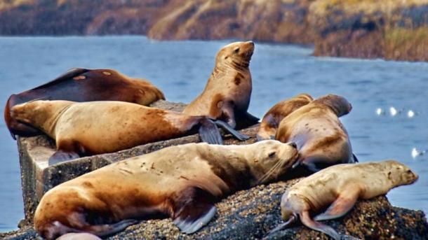 stellar sea lions-1